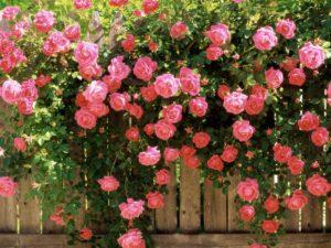 Розы как самый яркий акцент в ландшафтном дизайне