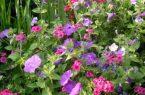 Неприхотливые цветы для дачи и сада