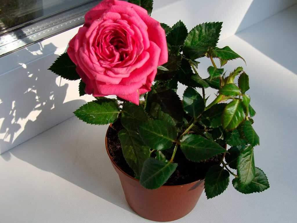 Комнатная роза