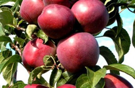 Колонновидные яблони - плюсы и минусы