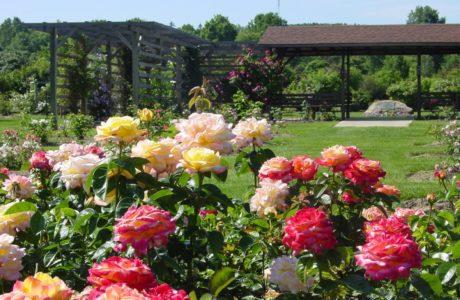 Где на участке лучше всего сажать розы