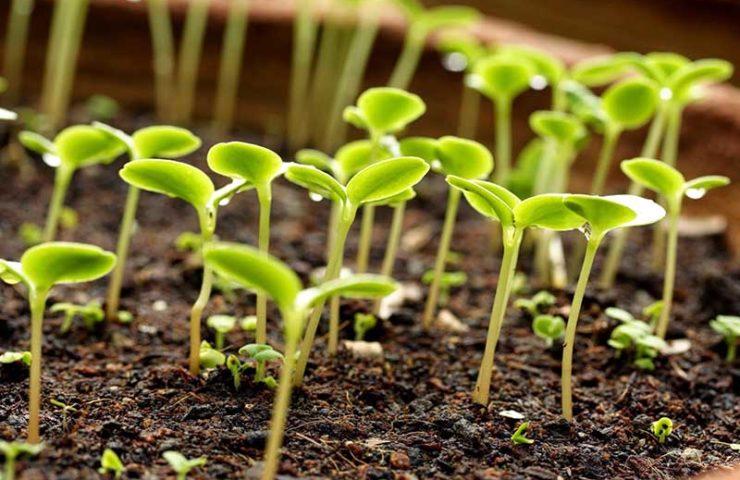 Правильное выращивание рассады
