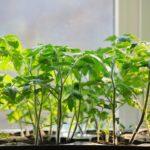 Как правильно сажать рассаду помидоров на подоконнике?