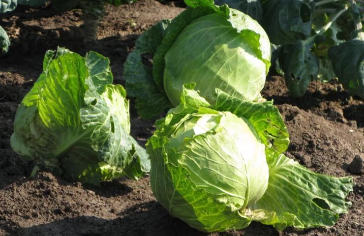 Выращивание белокочанной капусты