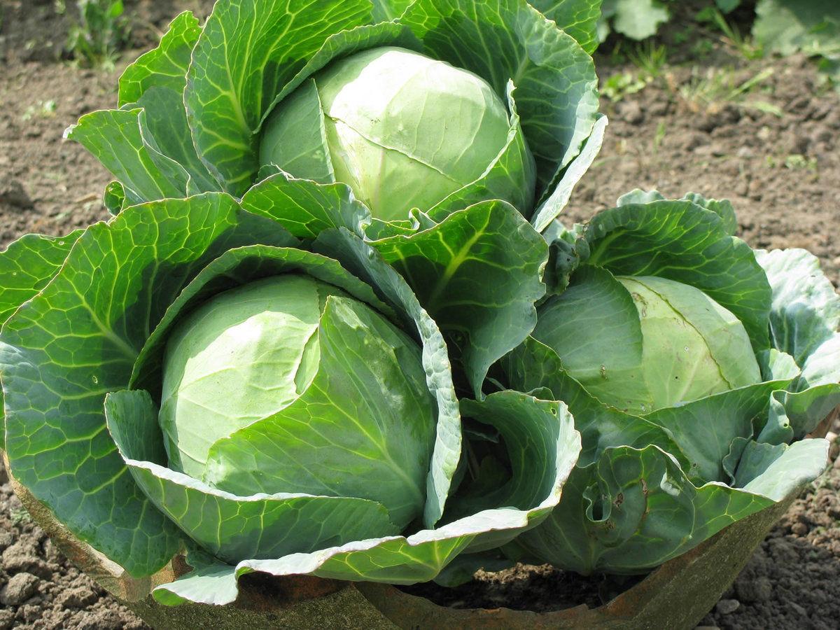 Купить белокочанную капусту