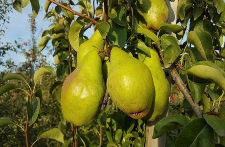 Груша ноябрьская – правильный уход и выращивание