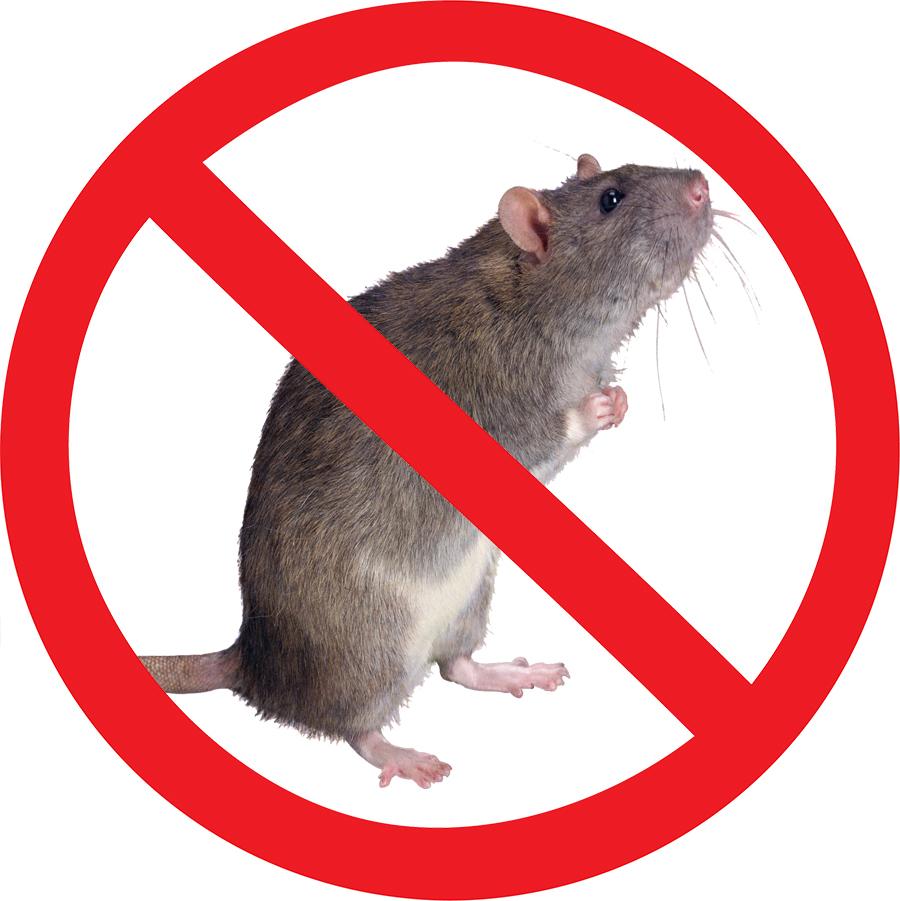 Крысы и мыши в доме: почему важно заказать услугу дератизации у профессионалов?