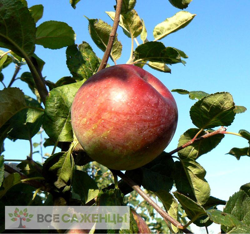 Где купить саженцы яблонь?